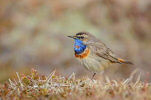 Male Bluethroat (Luscinia svecica), Oppland, Norway, June.  -  Andy  Trowbridge