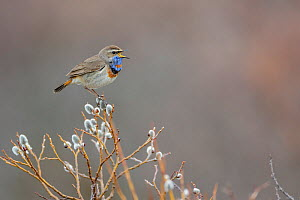 Male Bluethroat (Luscinia svecica) perched on a branch, singing, Oppland, Norway, June.  -  Andy  Trowbridge
