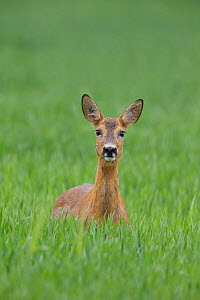 RF- Female Roe deer (Capreolus capreolus) standing in a wheat field, Norway, June. (This image may be licensed either as rights managed or royalty free.)  -  Andy Trowbridge