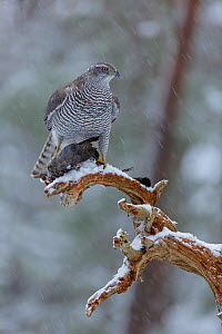 Female Northern goshawk (Accipiter gentilis) perched on a branch in falling snow, with Wood pigeon (Columba palumbus) prey, Norway, January. - Andy  Trowbridge