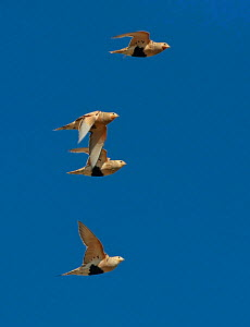 Pallas's sandgrouse (Syrrhaptes paradoxus) group of four flying against blue sky, Gobi Desert, Mongolia, August.  -  Konstantin Mikhailov