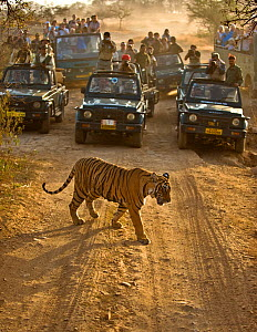 Bengal tiger (Panthera tigris tigris) with tourists watching from cars, Ranthambore, India  -  Andy  Rouse