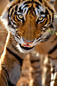 Bengal tiger (Panthera tigris tigris) portrait, whilst stalking, Bandhavgarh, India.  -  Andy  Rouse