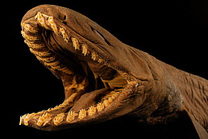 Frilled shark (Chlamydoselachus anguineus) specimen with mouth open, from Atlantic Ocean, at a depth of 729m.  -  Solvin Zankl