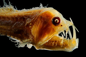 Viperfish (Chauliodus sloani) specimen from the North Atlantic deep sea. - Solvin Zankl