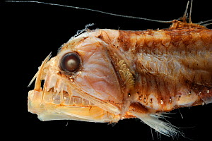 Deepsea Viperfish (Chauliodus sloani) specimen from the North Atlantic near the North West of Spain, at a depth of 560-580m.  -  Solvin Zankl