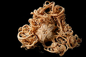 Deepsea Basket star (Gorgonocephalus lamarckii) specimen, from the North Atlantic near Iceland. - Solvin Zankl