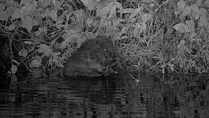 Two Eurasian beaver kits (Castor fiber) feeding at night, born in the wild on the River Otter as part of the River Otter Beaver Trial, Devon, England, UK, August 2015.  -  Nick Upton