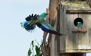 European roller (Coracias garrulus) male displaying to female inside the nest box. Monte da Aparica, Castro Verde, Alentejo, Portugal, May.  -  Roger Powell