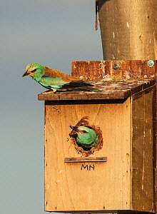 Male European roller (Coracias garrulus) about to fly from the nest box, with a beetle to feed to the female above. Monte da Aparica, Castro Verde, Alentejo, Portugal, May.  -  Roger Powell