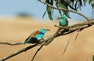 Male European roller (Coracias garrulus) flying in to courtship feed the female sitting on a eucalyptus branch. Monte da Aparica, Castro Verde, Alentejo, Portugal, May.  -  Roger Powell
