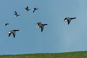 Small flock of Brent Geese (Branta bernicla) in flight..Texel Island, The Netherlands, Europe - Roger Powell