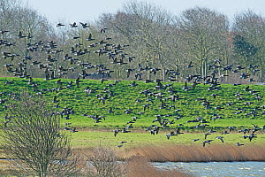 Migratory flock of Brent Geese (Branta bernicla) flying in to feed on coastal pasture, Texel Island, The Netherlands. - Roger Powell