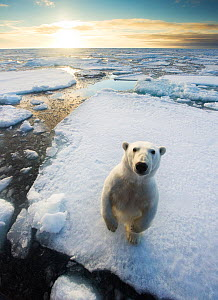 Polar bear (Ursus maritimus)  standing on ice floe, looking at camera. Svalbard, Norway. August. - Ole  Jorgen Liodden