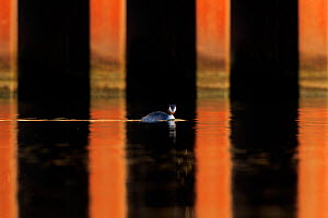 Great crested grebe (Podiceps cristatus cristatus) in urban environment Cardiff, UK - Andy  Rouse
