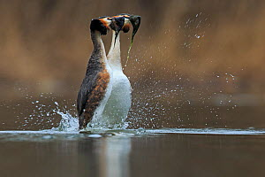 Great crested grebe (Podiceps cristatus cristatus) courtship weed dance, Cardiff, UK, March.  -  Andy  Rouse
