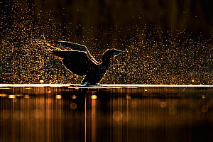 Cormorant (Phalacrocorax carbo) shaking water after diving at dawn, Cardiff, UK, March. - Andy  Rouse