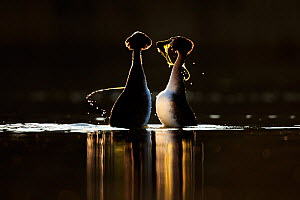 Great crested grebe (Podiceps cristatus cristatus) courtship dance at dawn, Cardiff, UK, March. - Andy  Rouse