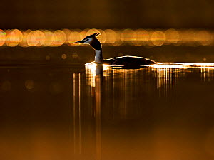 Great crested grebe (Podiceps cristatus cristatus) on lake at dawn, Cardiff, UK, March.  -  Andy  Rouse