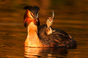 Great crested grebe (Podiceps cristatus cristatus) with young chicks on back,  Cardiff, UK, April. - Andy  Rouse