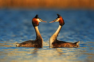 RF- Great crested grebe (Podiceps cristatus cristatus) courtship dance, Cardiff, UK, March. (This image may be licensed either as rights managed or royalty free.) - Andy  Rouse