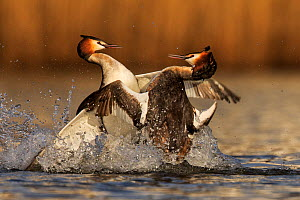 Great crested grebe (Podiceps cristatus cristatus) rival males fighting during mating season, Cardiff, UK, March.  -  Andy  Rouse