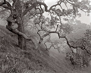 Oak trees (Quercus) in the fog, Figueroa Mountain, Los Padres National Forest, California, USA.  -  Kirkendall-Spring
