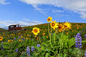 Balsamroot (Balsamorhiza deltoidea) blooming, and rusty old car, Columbia Hills State Park, Columbia River Gorge National Scenic Area, Washington, USA, April. - Kirkendall-Spring