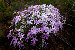 North american phlox flowers (Phlox diffusa) in the Columbia National Wildlife Refuge, Washington, USA, April.  -  Kirkendall-Spring
