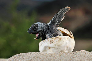 Loggerhead sea turtle (Caretta caretta) emerging from shell, Dalyan delta, Turkey, July.  -  Wild  Wonders of Europe / Zankl
