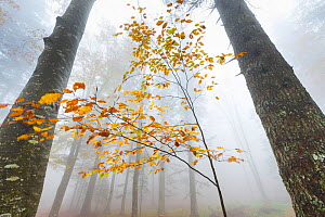 European beech forest (Fagus sylvatica) in autumn, view from below in the mist, Ilirska Bistrica, Green Karst, Slovenia, October.  -  Juan  Carlos Munoz