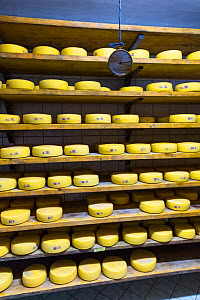 Organic cheese farm, with cheeses maturing on shelves Cadrg, Julian Alps, Tolmin, Slovenia, October. - Juan  Carlos Munoz