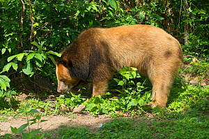 Asiatic black bear (Ursus thibetanus) blonde / golden colour morph, Phnom Penh, Cambodia. Captive, occurs in Asia.  -  Roland  Seitre