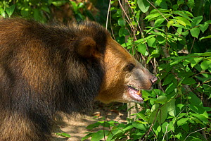 Asiatic black bear (Ursus thibetanus) blonde / golden colour morph, Phnom Penh, Cambodia. Captive occurs in Asia.  -  Roland  Seitre