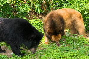 Asiatic black bear (Ursus thibetanus) normal and blonde / golden colour morph, Phnom Penh, Cambodia. Captive occurs in Asia.  -  Roland  Seitre