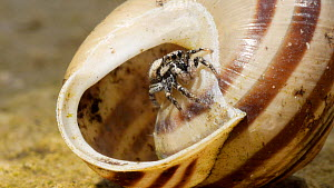 Zebra spider (Salticus scenicus) emerging from inside a snail shell, jumps out of shot, controlled conditions.  -  Steve Downer