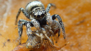 Zebra spider (Salticus scenicus) feeding on a fruit fly, controlled conditions.  -  Steve Downer