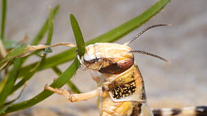 Desert locust (Schistocerca gregaria) feeding on grass, controlled conditions.  -  Steve Downer