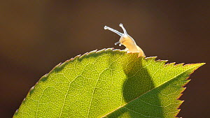 Banded snail (Cepaea nemoralis) on rear of a backlit rose leaf, controlled conditions.  -  Steve Downer