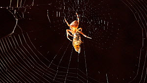 Garden spider (Araneus diadematus) feeding on a wrapped hoverfly in its web, Birmingham, England, UK. Controlled conditions.  -  Steve Downer