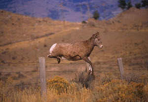 Rocky mountain bighorn ewe (Ovis canadensis) jumping a barbed wire fence. Montana, USA. - Charlie  Summers