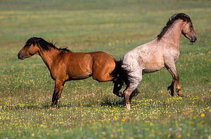 Wild horses (Equus ferus) bay and strawberry roan, both bearing battle scars, about to fight with back legs, Montana, USA.  -  Charlie  Summers