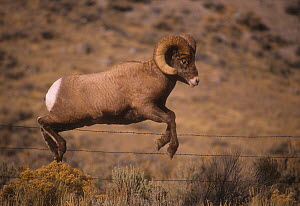 Rocky mountain bighorn (Ovis canadensis) ram jumping a barbed wire fence, Montana, USA, - Charlie  Summers