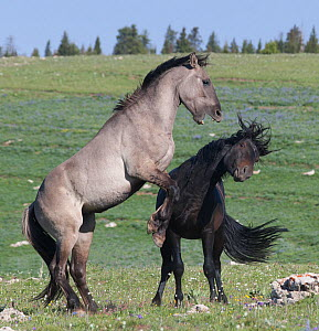Two Wild horse (Equus ferus) stallions fighting, Prior Mountains, Montana, USA, June. - Charlie  Summers