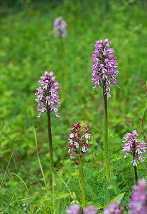 Lady Orchid (Orchis purpurea) in the centre, with hybrid Lady x Monkey orchids (Orchis purpurea x O. simia), Buckinghamshire, England, UK, May. - Adrian Davies