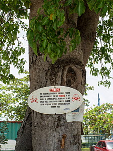 Manchineel tree (Hippomane mancinella) with sign warning that it is dangerous. This species has poisonous fruit, whilst the sap is toxic, and even standing beneath the tree in the rain can cause blist...  -  Adrian Davies