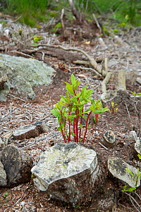 Rhododendron (Rhododendron x superponticum) clearance, new shoots emerging from poisoned stump. This species is an invasive species. Snowdonia, north Wales, UK, July.  -  Adrian Davies