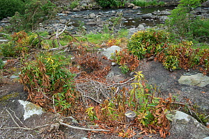Rhododendron (Rhododendron x superponticum) clearance via poisoning, this species is an invasive species, Snowdonia, north Wales, UK, June.  -  Adrian Davies
