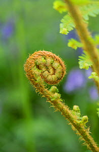 Scaly male fern (Dryopteris pseudomas) unfurling frond. Surrey, England, UK, May.  -  Adrian Davies