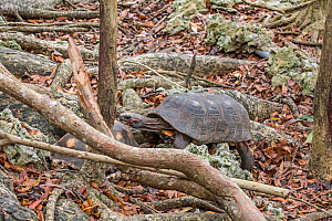 Red-footed tortoise (Chelonoidis carbonaria) Barbados.  -  Adrian Davies